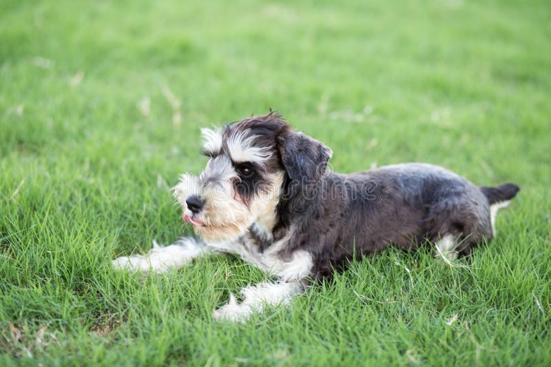 schnauzer photos stock