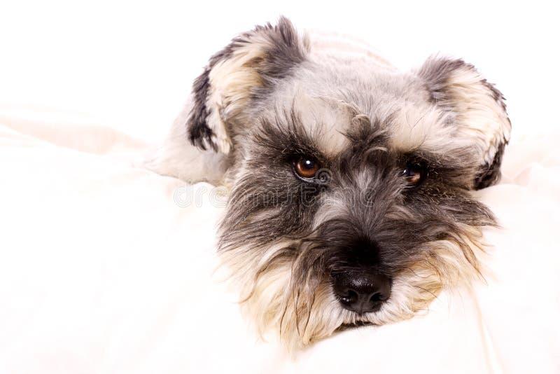 Schnauzer adorável em uma cama branca imagens de stock royalty free