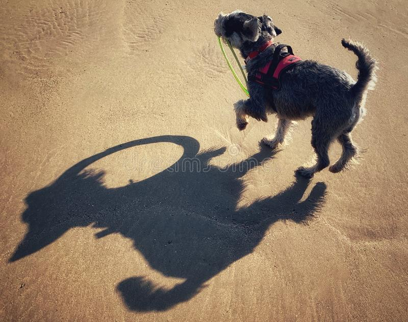 Schnauzer on beach playing with frisbee hoop stock image