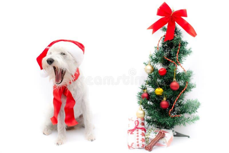 Schnauzer de la Navidad fotos de archivo