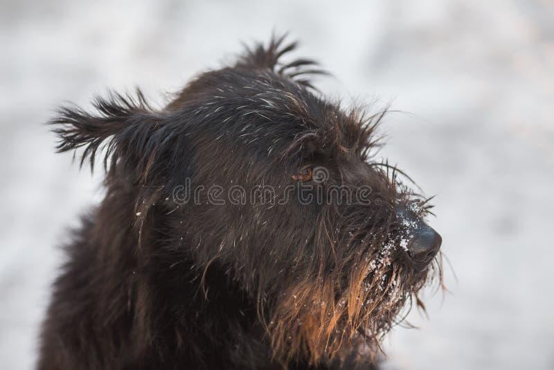 Schnauzer del perro en la nieve fresca fotos de archivo
