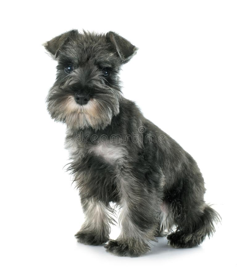 Schnauzer diminuto do cachorrinho fotografia de stock