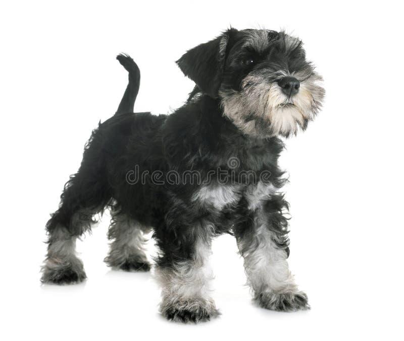 Schnauzer diminuto do cachorrinho fotografia de stock royalty free