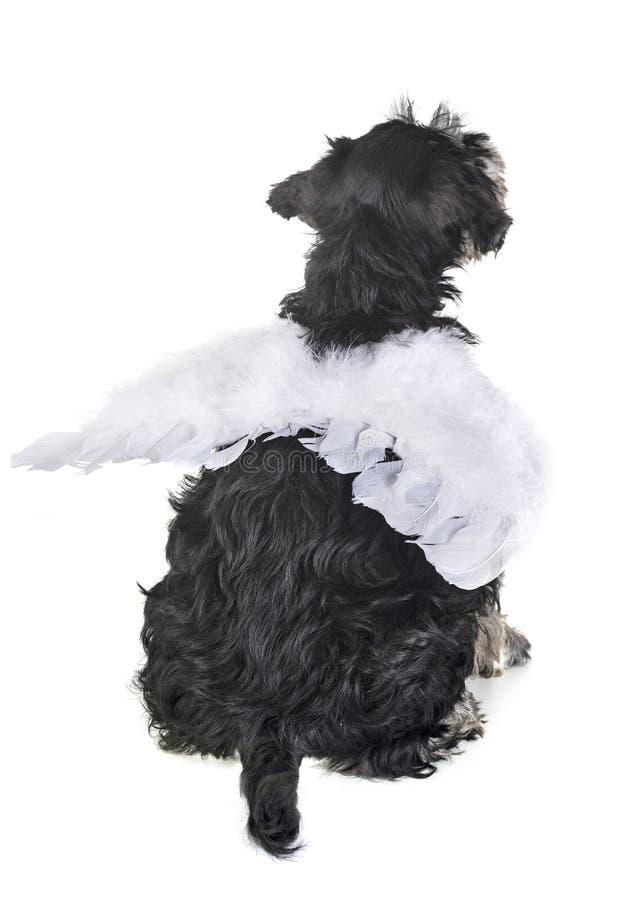 Schnauzer diminuto do cachorrinho foto de stock royalty free
