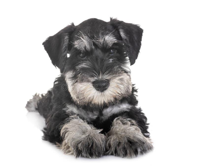 Schnauzer diminuto do cachorrinho fotos de stock
