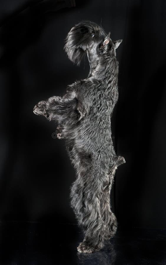 Schnauzer diminuto que está em dois pés no backg preto do estúdio fotografia de stock royalty free