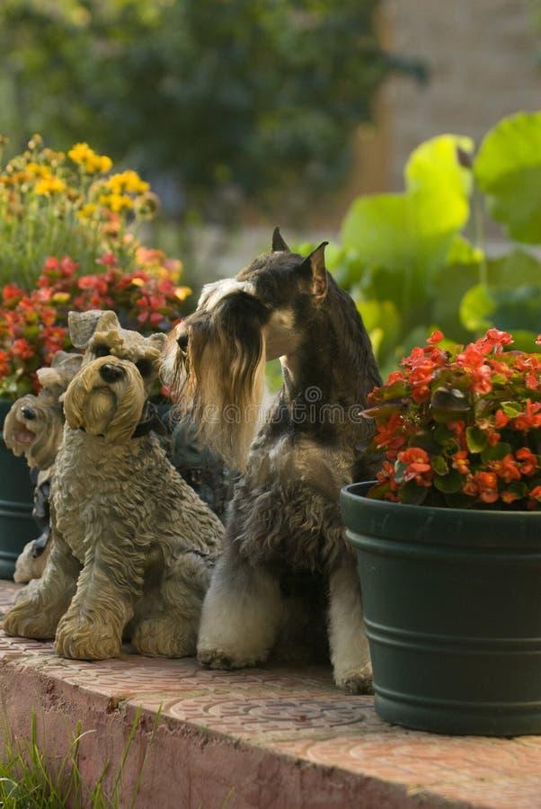 Download Schnauzer Do Animal De Estimação Do Cão Mini Foto de Stock - Imagem de canine, cães: 10054704