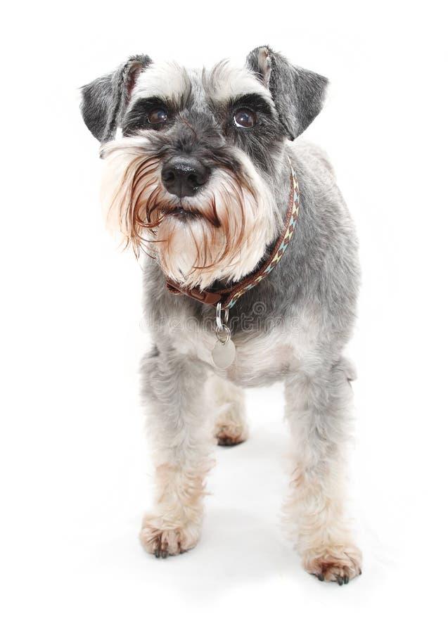 Schnauzer dog. A Schnauzer dog isolated on white background royalty free stock photography