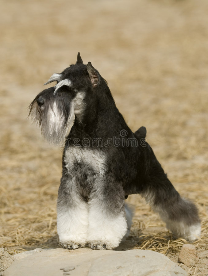 Free Schnauzer Dog Stock Photography - 6784032