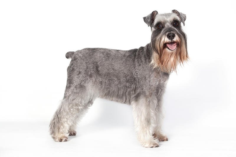Schnauzer dog i. A beautiful pure breed Schnauzer dog standing up in studio and looking at the camera stock photography
