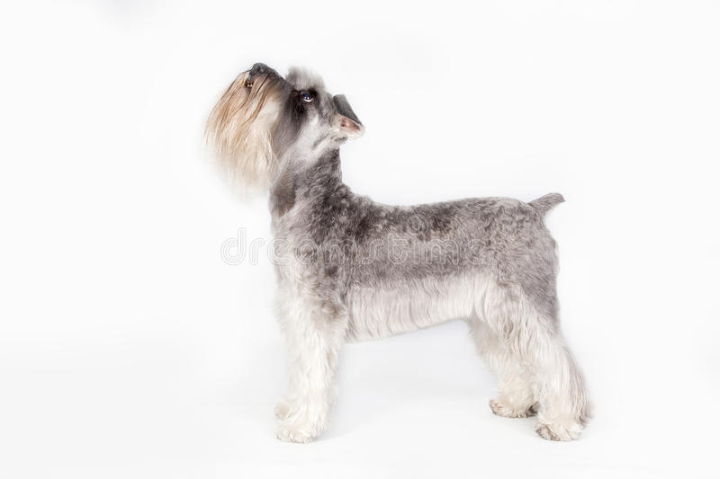 Schnauzer dog i. A Schnauzer dog in studio looking up and waiting for something stock photography