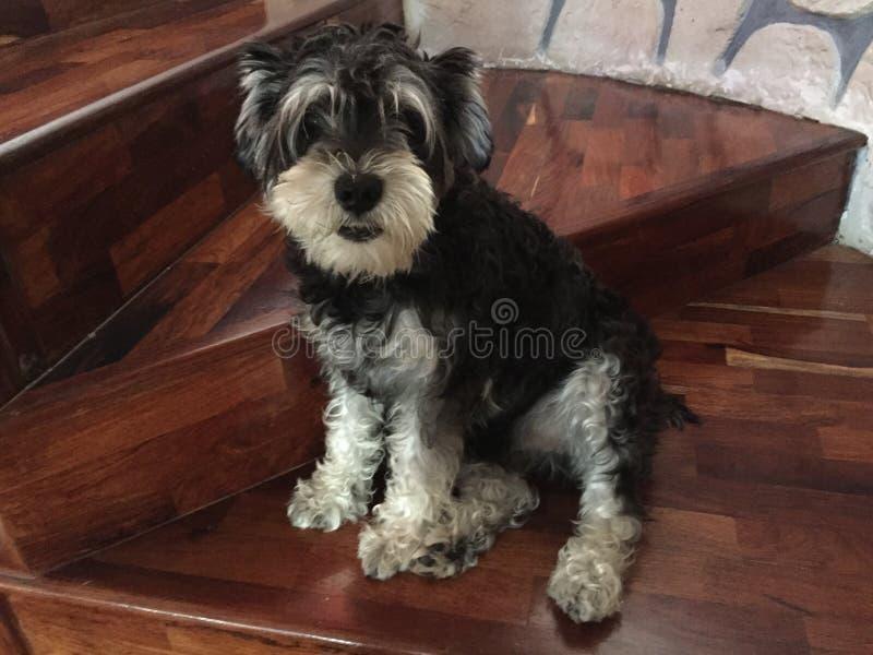 Schnauzer dog sit on stairs stock image