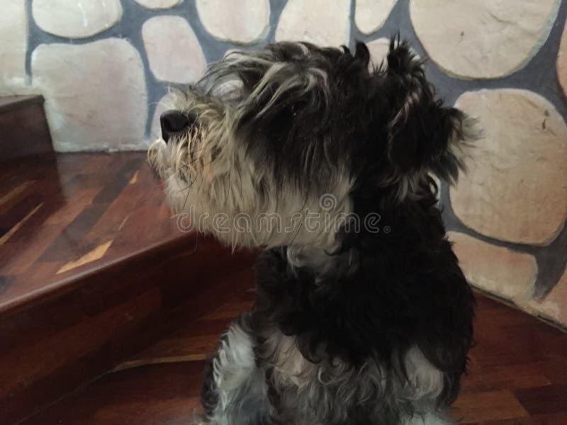 Schnauzer dog on stairs royalty free stock image