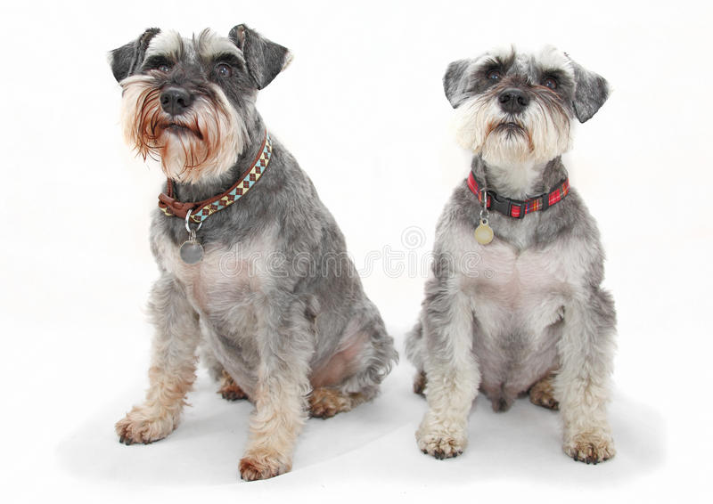 Schnauzer dogs. A pair of Schnauzer dogs isolated on white background