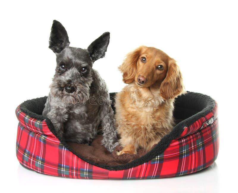 Schnauzer e dachshund immagine stock