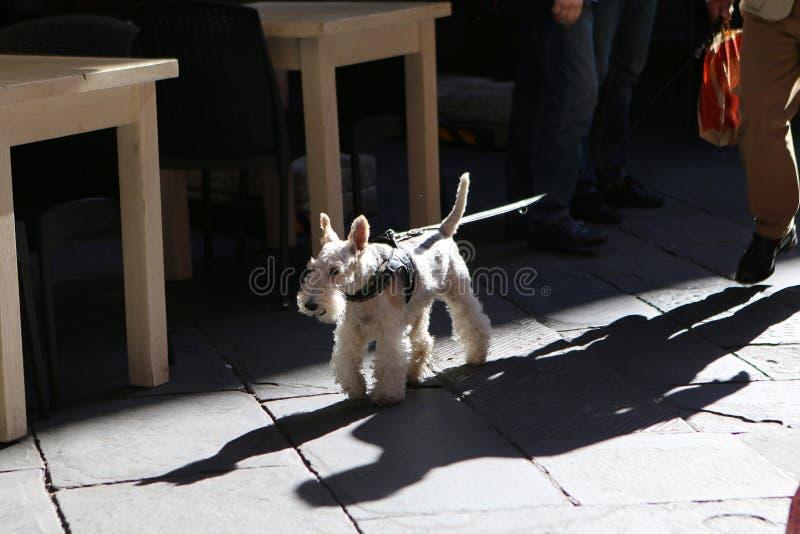 Schnauzer estándar de la raza del perro para un paseo fotos de archivo libres de regalías