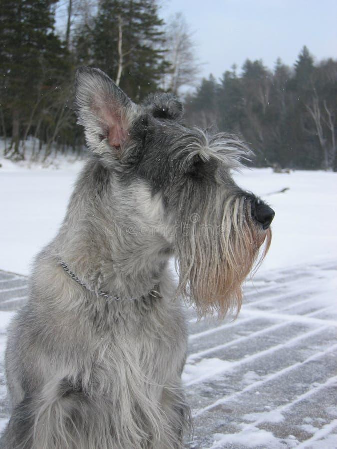 Schnauzer estándar en invierno fotos de archivo
