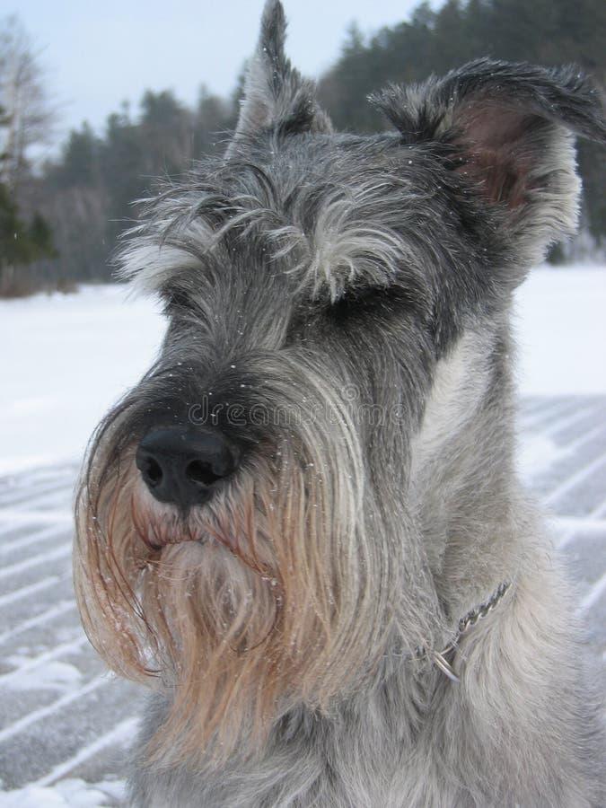Schnauzer estándar en invierno imagen de archivo