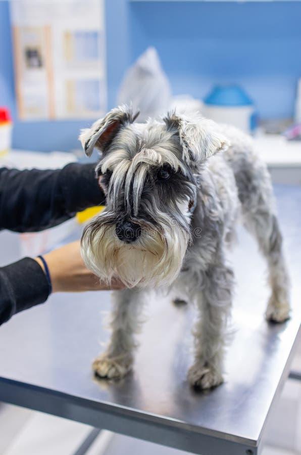 Schnauzer gestreichelt von seinem Inhaber in einer Veterinärklinik lizenzfreies stockbild