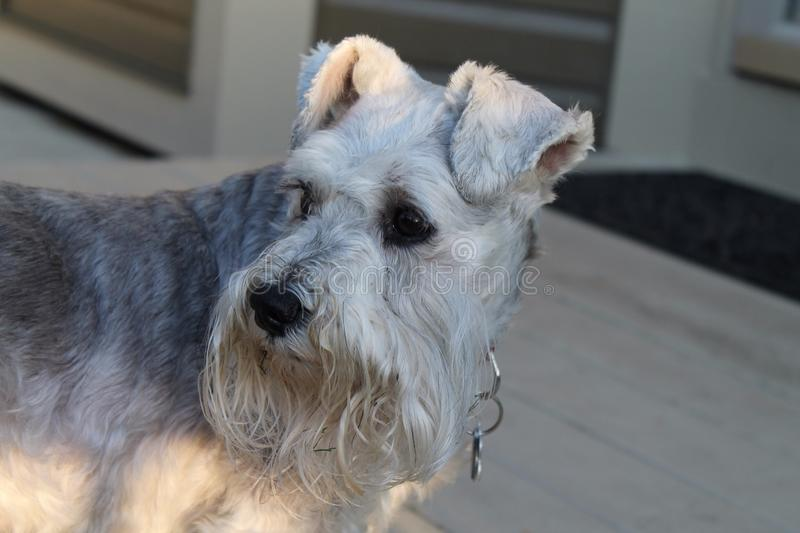 Schnauzer Girl royalty free stock images