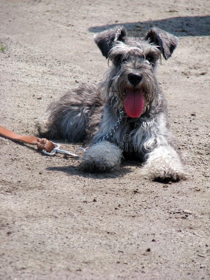 Schnauzer, le chien le plus amical, le plus loyal et mignon images stock