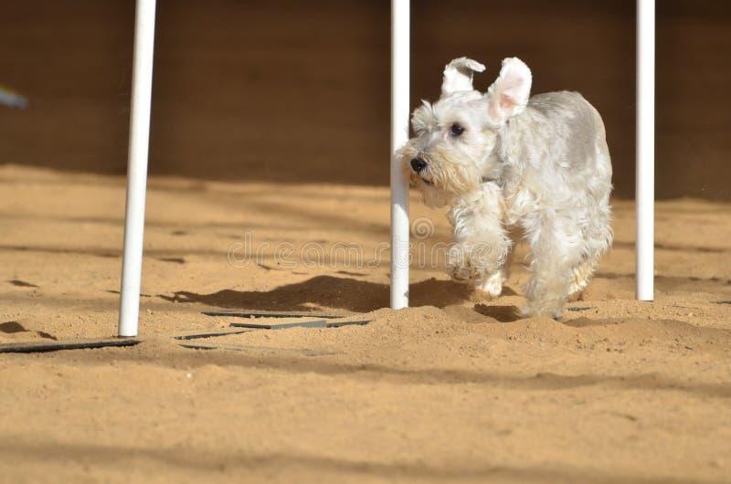 Schnauzer miniatura ad una prova di agilità del cane immagine stock libera da diritti