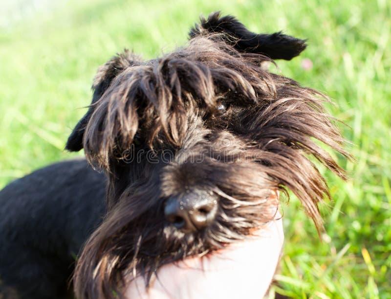 Download Schnauzer Miniatura Al Aire Libre Imagen de archivo - Imagen de canino, lifestyles: 41910943