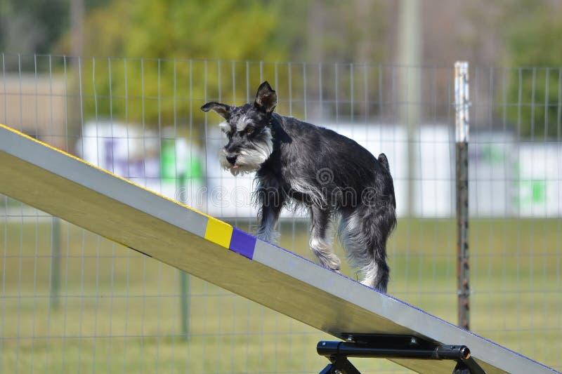 Schnauzer miniatura alla prova di agilità del cane immagini stock