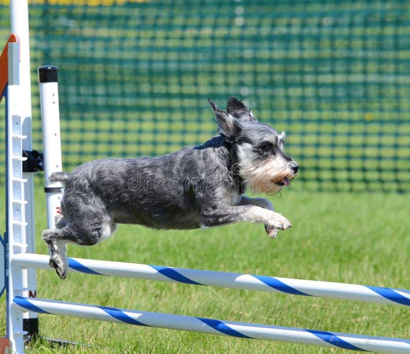 Schnauzer miniatura alla prova di agilità del cane immagine stock