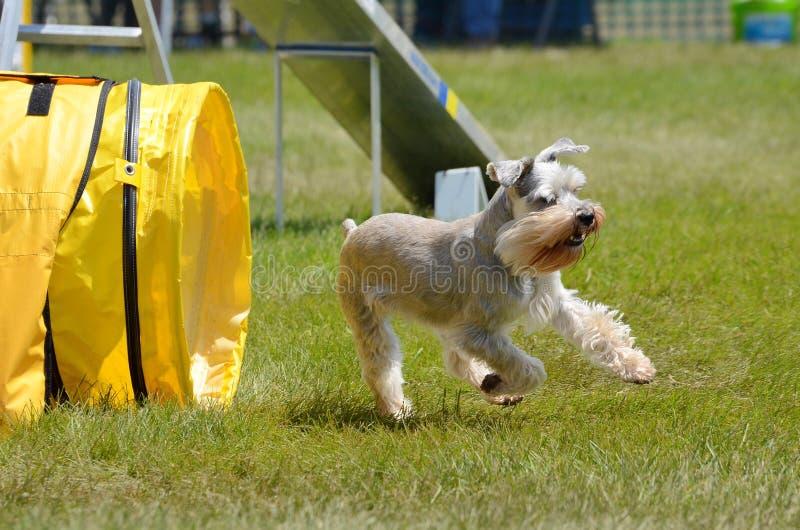 Schnauzer miniatura alla prova di agilità del cane fotografia stock libera da diritti