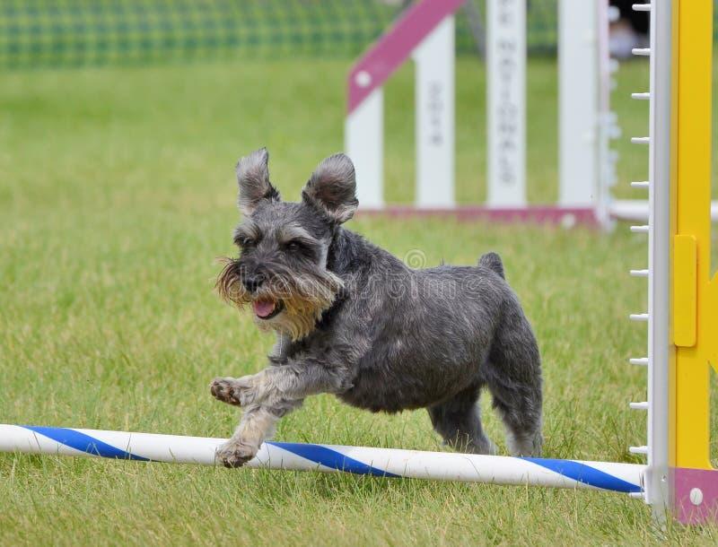 Schnauzer miniatura alla prova di agilità del cane fotografie stock libere da diritti