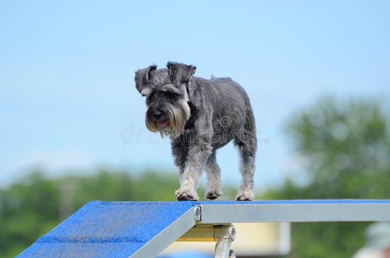 Schnauzer miniatura alla prova di agilità del cane fotografie stock