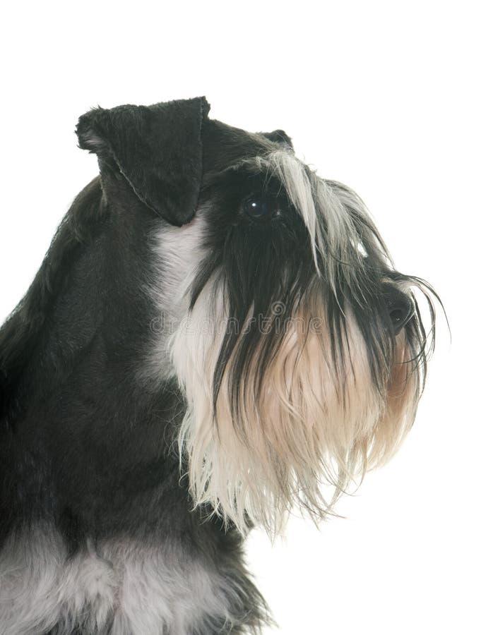 Schnauzer miniatura in bianco e nero immagini stock libere da diritti
