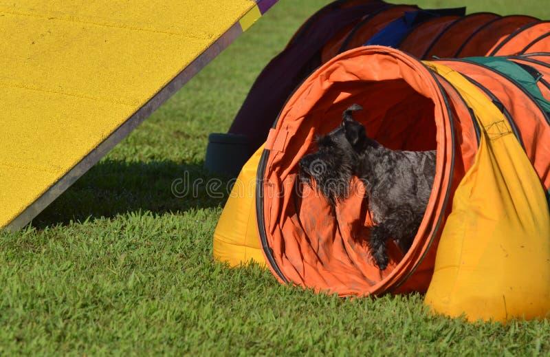 Schnauzer miniatura nero ad una prova di agilità del cane immagini stock libere da diritti