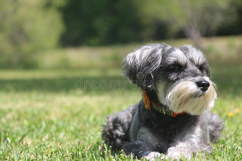 Schnauzer miniature photos stock