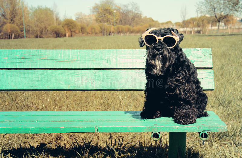 Schnauzer miniature avec des lunettes de soleil image libre de droits