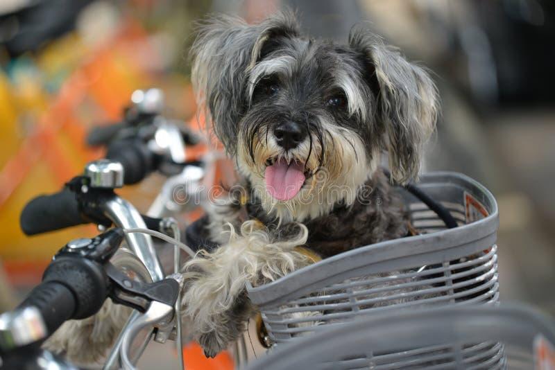 Schnauzer miniature se reposant dans le vélo image libre de droits