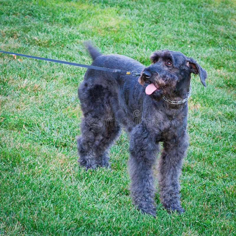 Schnauzer Mix Dog. Excited to go for a walk with motion blur from a wagging tail royalty free stock photos