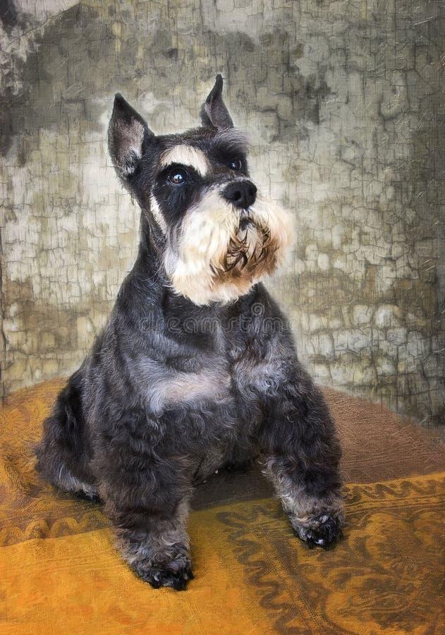 Schnauzer pies zdjęcia stock