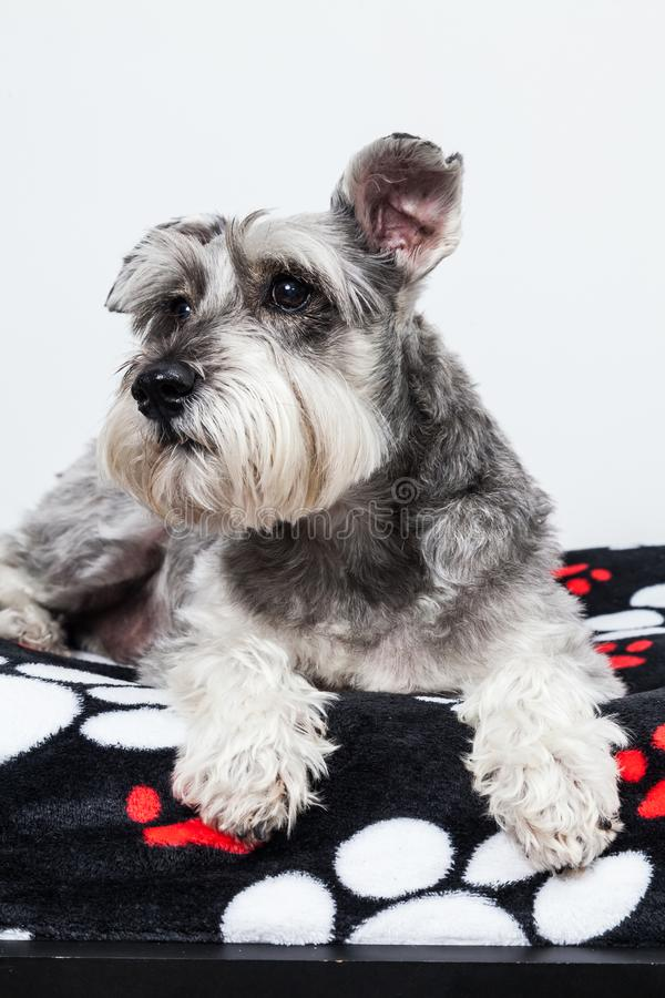 Tender pet - miniature Dog Schnauzer. The Schnauzer -pronunciado in German is a dog breed that originated in Germany during the XV and XVI centuries. Its name royalty free stock images