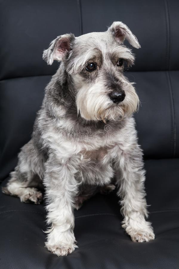 Tender pet - miniature Dog Schnauzer. The Schnauzer -pronunciado in German is a dog breed that originated in Germany during the XV and XVI centuries. Its name royalty free stock image