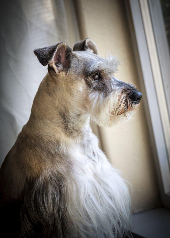 Schnauzer wacht door het venster stock fotografie