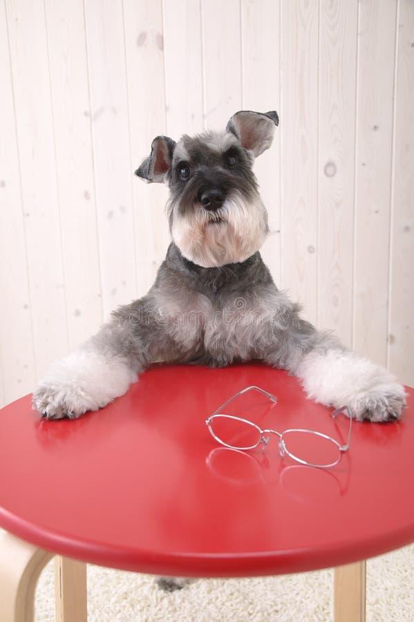 Schnauzerhund lizenzfreie stockbilder