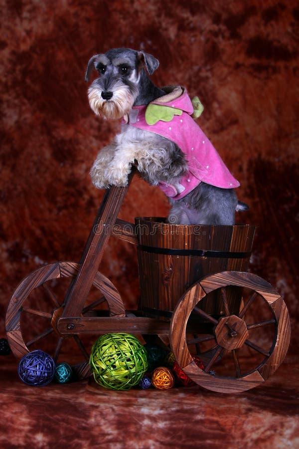 Schnauzerhund lizenzfreie stockfotografie