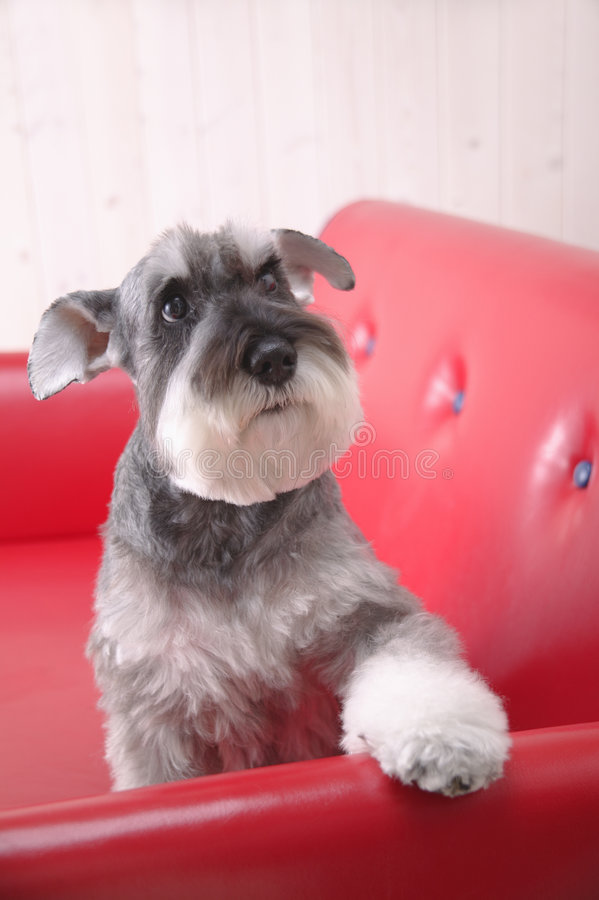 Schnauzerhund auf rotem Trainer stockbild