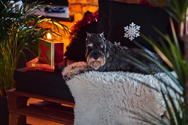 Schnauzerhund kleidete in der Weihnachtskleidung in einem Dachboden Innenro an lizenzfreies stockbild