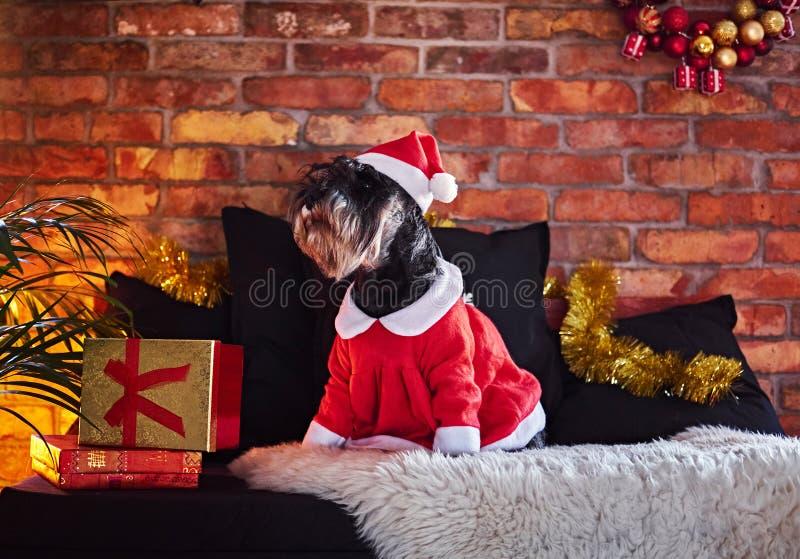 Schnauzerhund kleidete in der Weihnachtskleidung in einem Dachboden Innenro an lizenzfreie stockbilder