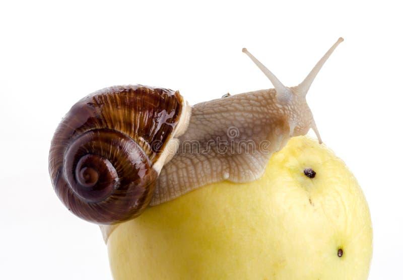 Schnecke auf einem Apfel stockfoto