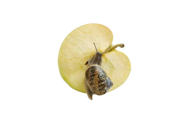 Schnecke, die auf geschnittenen Apfel kriecht. lizenzfreies stockbild