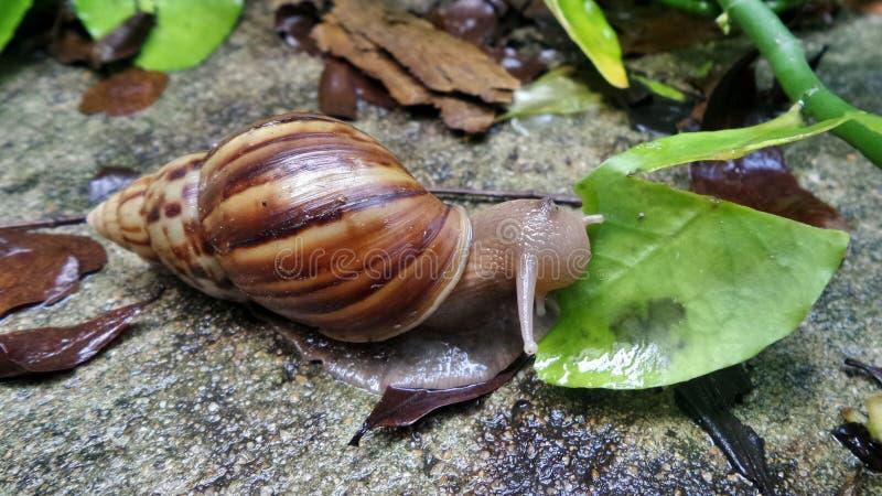 Schnecke, die frisches grünes Blatt im nassen Garten nach Regenfall isst lizenzfreie stockfotografie